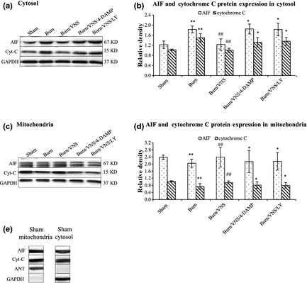 Western Blot Analysis of AIF and Cytochrome C Expression