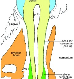 schematic of the mouse molar tooth the illustrated image is modeled after a coronal buccolingual [ 796 x 1307 Pixel ]