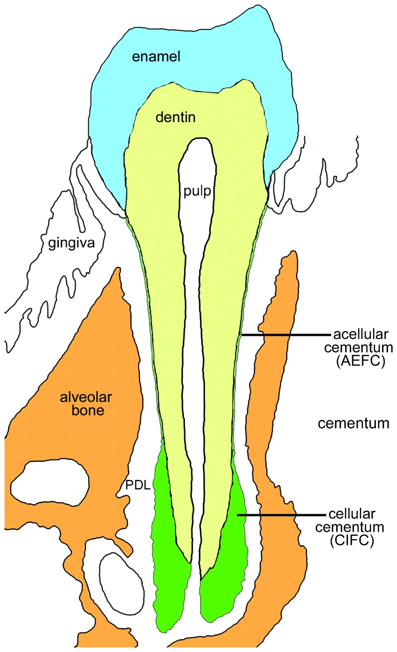 hight resolution of schematic of the mouse molar tooth the illustrated image is modeled after a coronal buccolingual