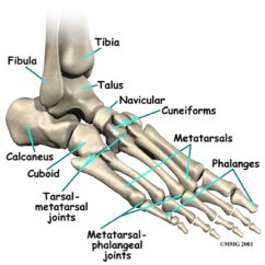 Bones In Your Foot Diagram Front End Showing Metatarsal Of The Download Scientific