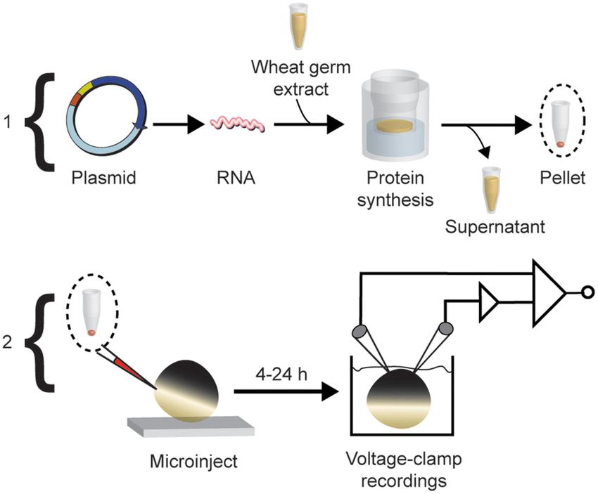 diagram of yeast