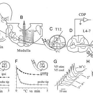 Experimental summary. A: mesencephalic locomotor region