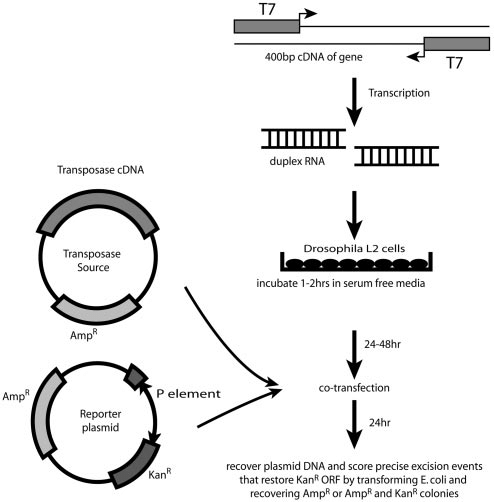 RNAi and P element excision and repair assay. The in vivo