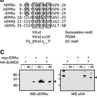 (PDF) Phosphorylation-Dependent Sumoylation Regulates