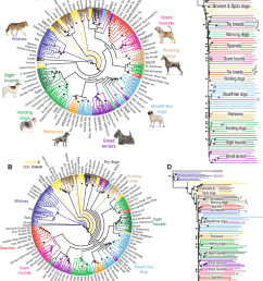 genetic similarity tree for dogs and wolves based on snp genotyping data clades are labeled [ 850 x 1059 Pixel ]