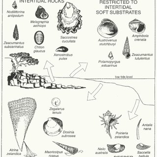 (PDF) Inner shelf mollusca of the Bay of Islands, New