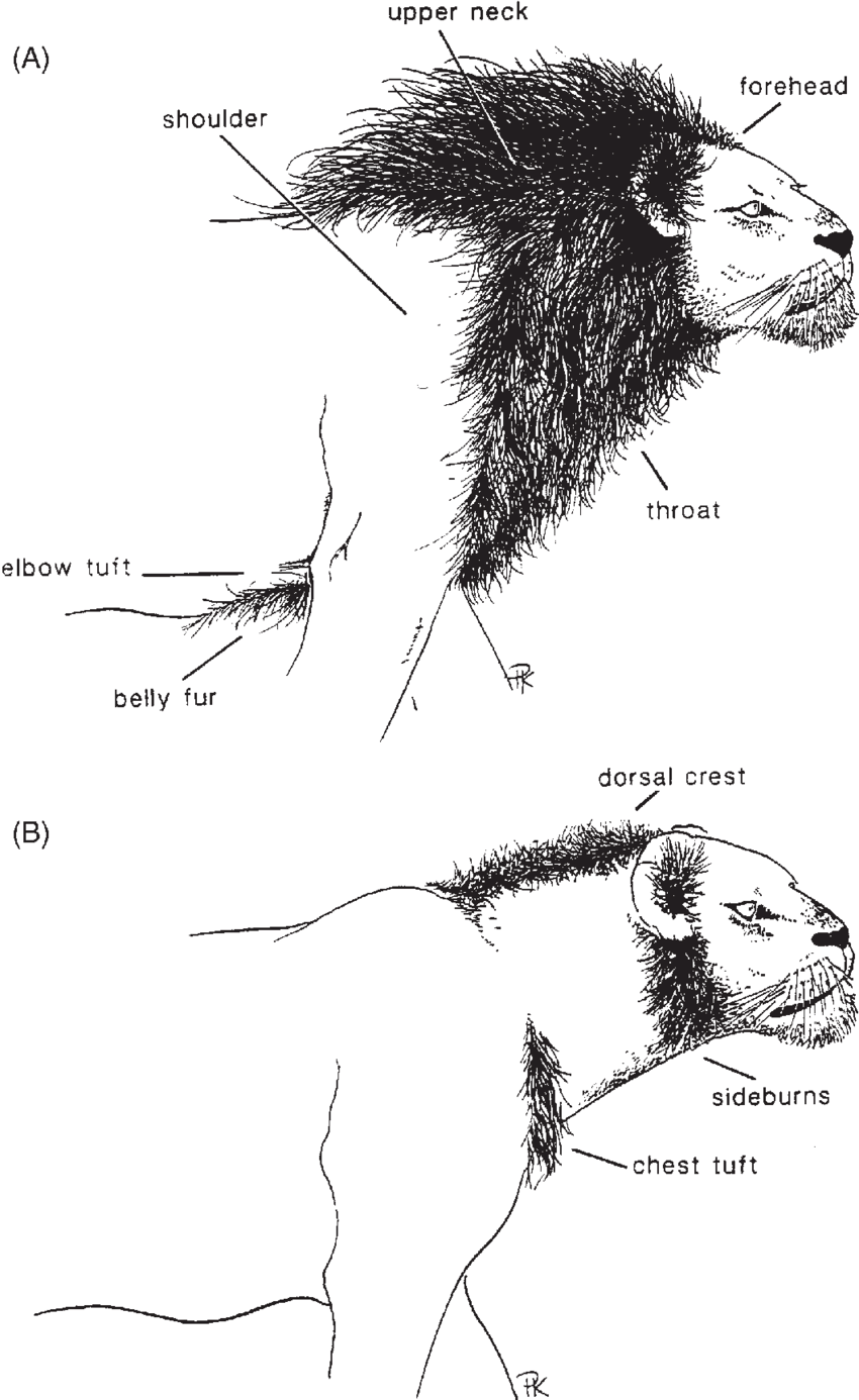 medium resolution of  a a fully maned adult male lion illustrating the shoulder download scientific diagram