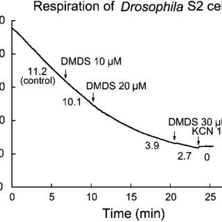 DMDS activates K ATP channels in DUM neuron cell bodies. A