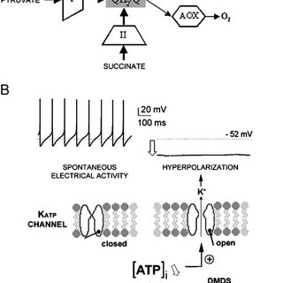 DMDS activates K ATP channels in DUM neuron cell bodies. A
