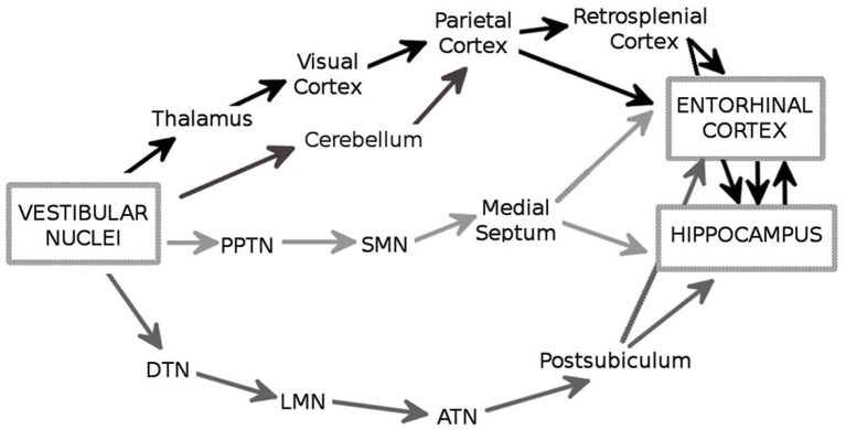 The major anatomical pathways (in black, dark gray and