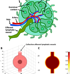 representation of the lymph node by the computational model a diagram highlighting a [ 850 x 1102 Pixel ]