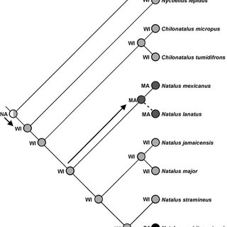 Phylogeny of the tribe Nycticeinii based on the study of