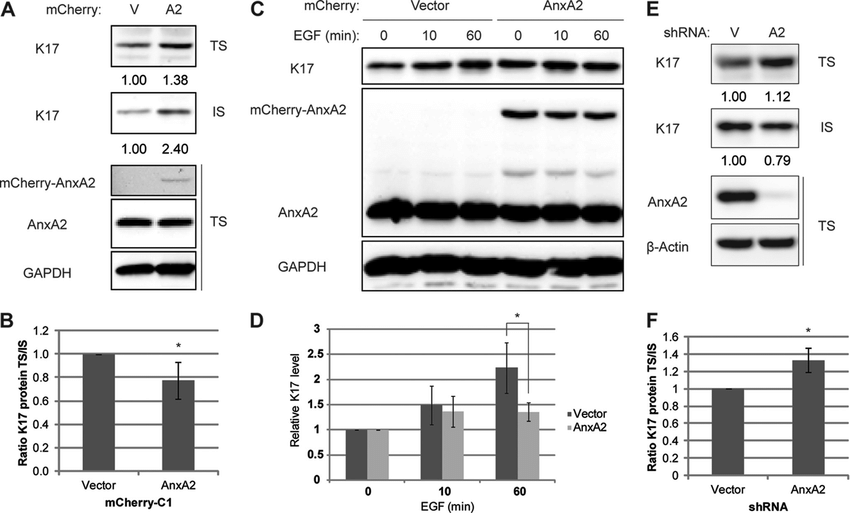 AnxA2 stabilizes keratin filaments and delays EGF-induced