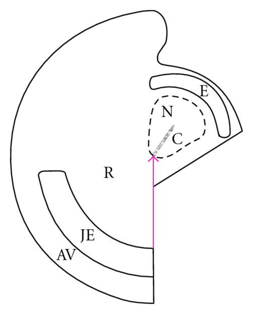 hight resolution of  a schematic representation of the different structures found in a right hemi embryo after 1 day of culture the head region is bent over the original