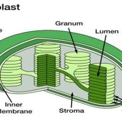 Chloroplast Diagram With Labels How To Read Car Wiring Symbols Structure Download Scientific