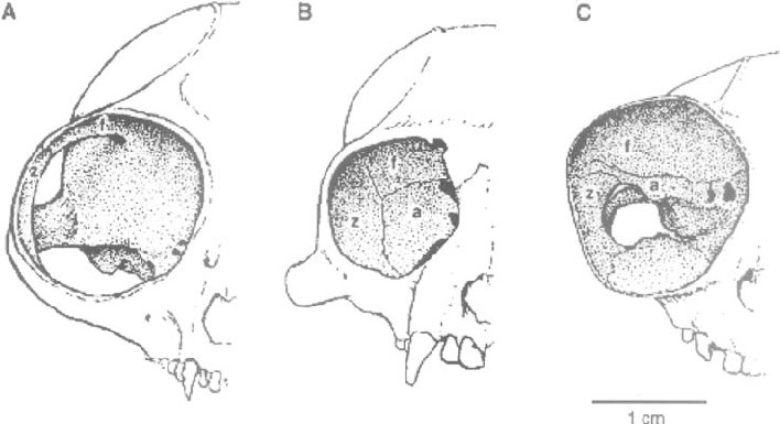 5 Illustration of the postorbital bar and the postorbital