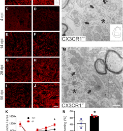 synaptic plasticity is enhanced in spinal cord lumbar ventral horn after sci in cx3cr1 mice [ 850 x 1242 Pixel ]