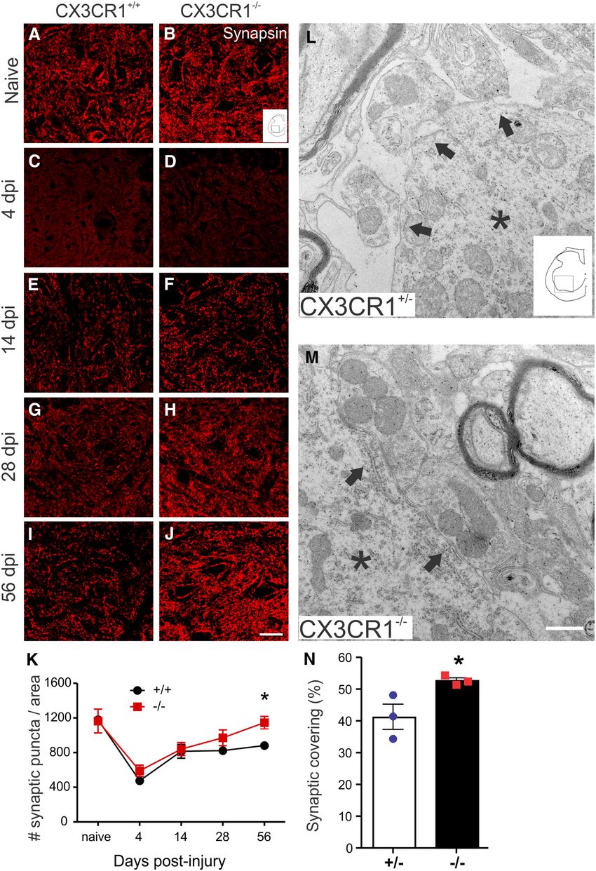 hight resolution of synaptic plasticity is enhanced in spinal cord lumbar ventral horn after sci in cx3cr1 mice