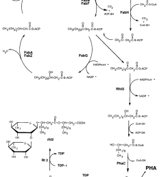 schematic representation of the fatty acid biosynthetic pathway showing the deduced role of the rhlg protein [ 850 x 1155 Pixel ]