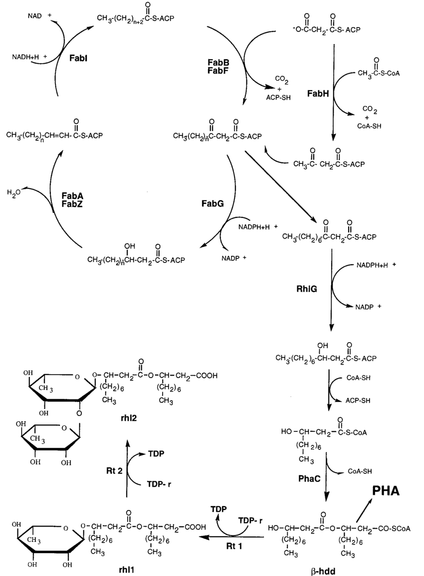 hight resolution of schematic representation of the fatty acid biosynthetic pathway showing the deduced role of the rhlg protein