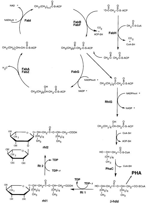 small resolution of schematic representation of the fatty acid biosynthetic pathway showing the deduced role of the rhlg protein