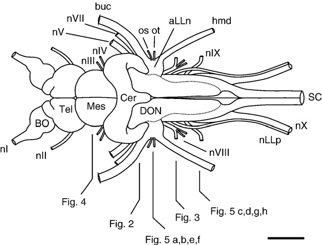 Drawing of the brain and cranial nerves of Polyodon. The