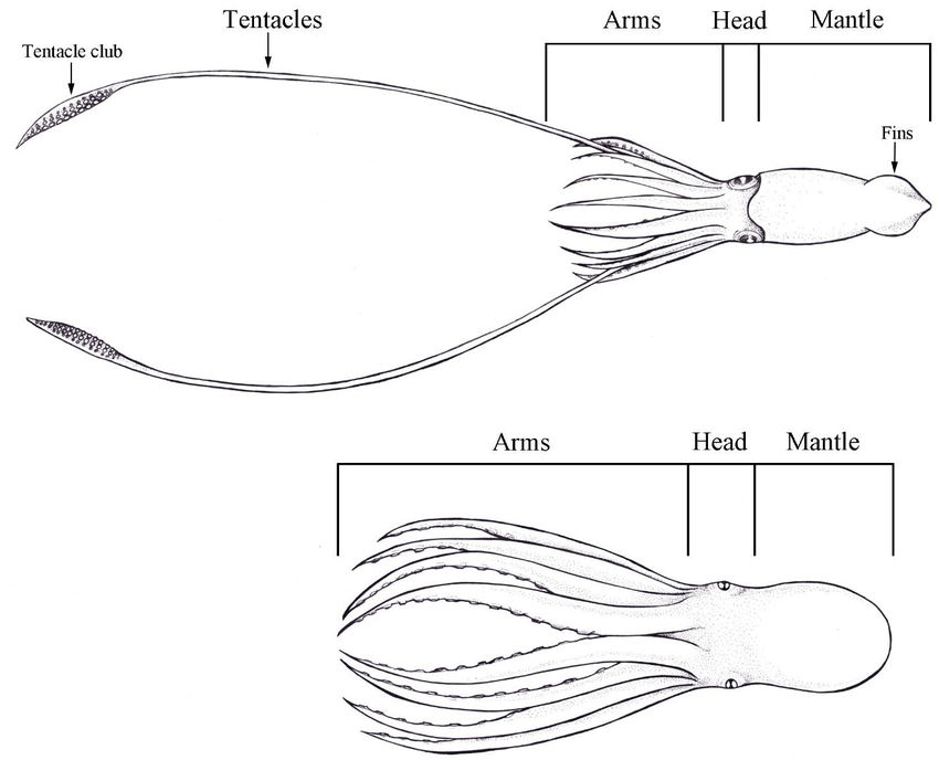 labeled diagram of octopus 1994 acura integra alarm wiring diagrams a squid above and an below accompanied by