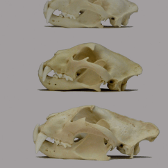 Snow Leopard Anatomy Diagram Venn Calculator 2 Sets A Comparison Of The Skulls Panthera Cats All Lateral Views From Top Jaguar Tiger Lion Note Small Highly Vaulted