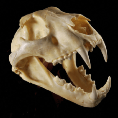 Snow Leopard Anatomy Diagram Echo Chainsaw Parts 3 Skull Of A Showing Dentition National Museums Scotland