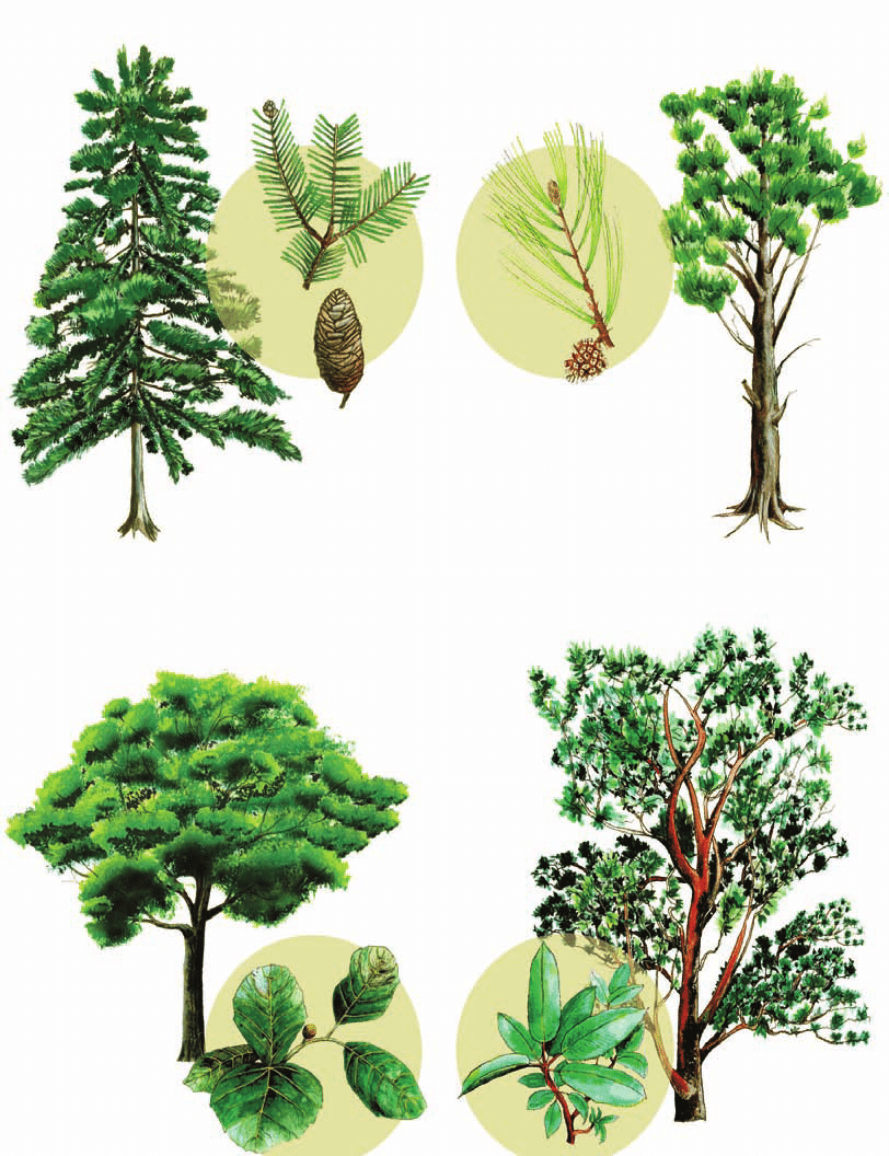 hight resolution of dominant trees in the region a oyamel fir b pine c