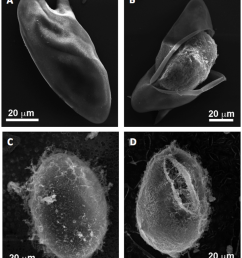 morphology of schistosoma mansoni and schistosoma japonicum eggs panel a shows an intact egg of [ 850 x 987 Pixel ]
