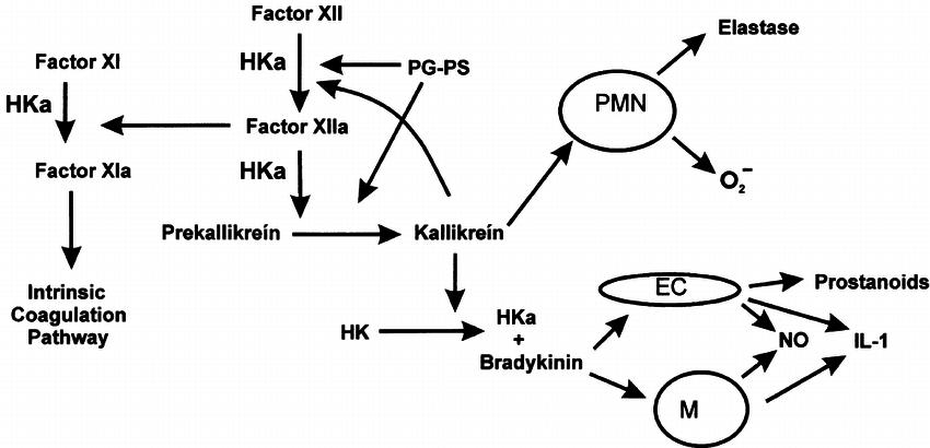 Potential pathogenic role of the plasma kallikrein kinin