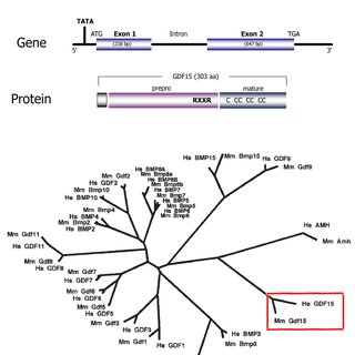 4.2.1-Top: Schematic representation of GDF15 gene and