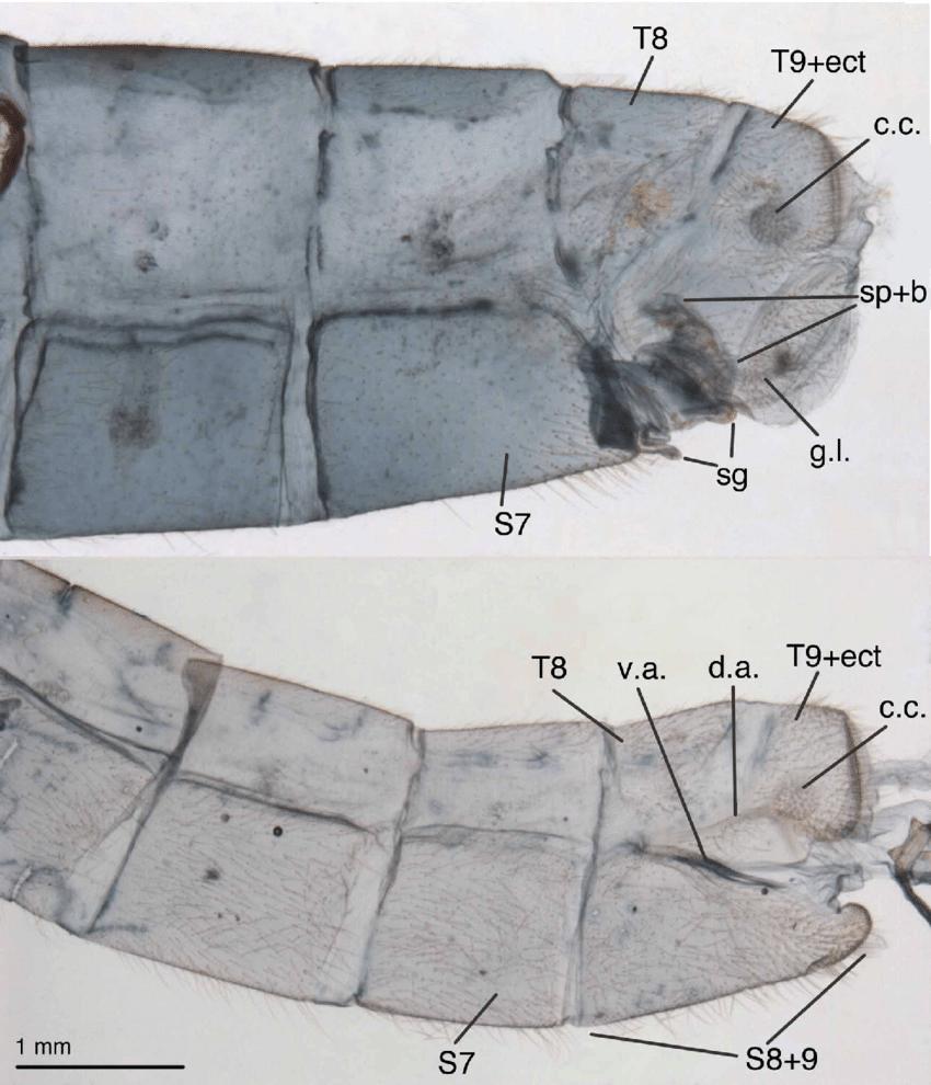 hight resolution of leucochrysa l boxi terminal segments of abdomen a6 a9