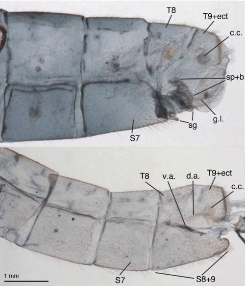 small resolution of leucochrysa l boxi terminal segments of abdomen a6 a9