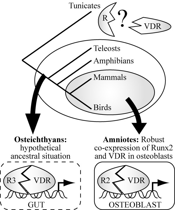 A model for the evolution of the Runx2-VDR interaction. A