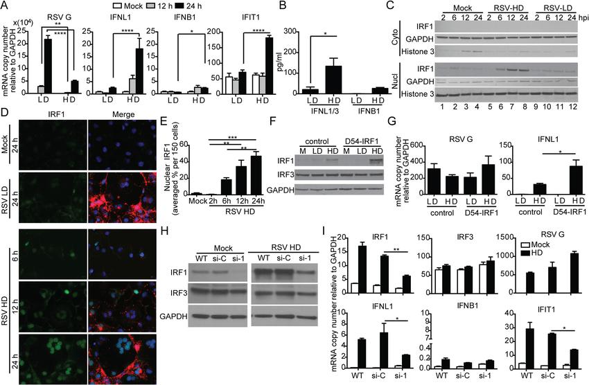 RSV iDVGs stimulate an IRF1/IFNL1-mediated antiviral