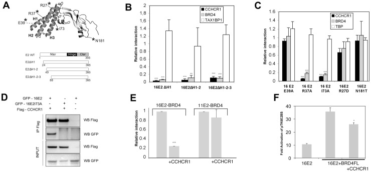 CCHCR1 Interacts Specifically with the E2 Protein of Human