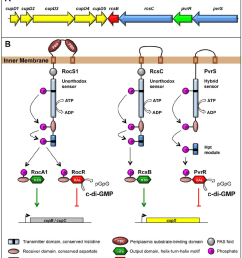genetic organization and proposed signaling mechanism a genetic organization of the cupd rcs [ 850 x 975 Pixel ]