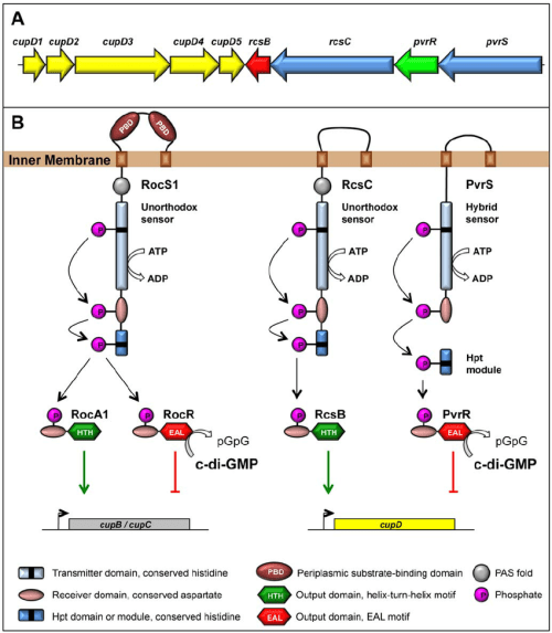 small resolution of genetic organization and proposed signaling mechanism a genetic organization of the cupd rcs