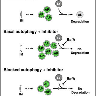 (PDF) Correction to: Assessing Tissue-Specific Autophagy