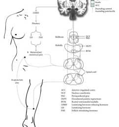 hypothesized mechanism of acupuncture on dysmenorrhea and related symptoms  [ 850 x 1159 Pixel ]