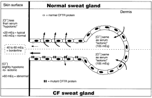Diagram of a sweat gland, showing paths taken by chloride