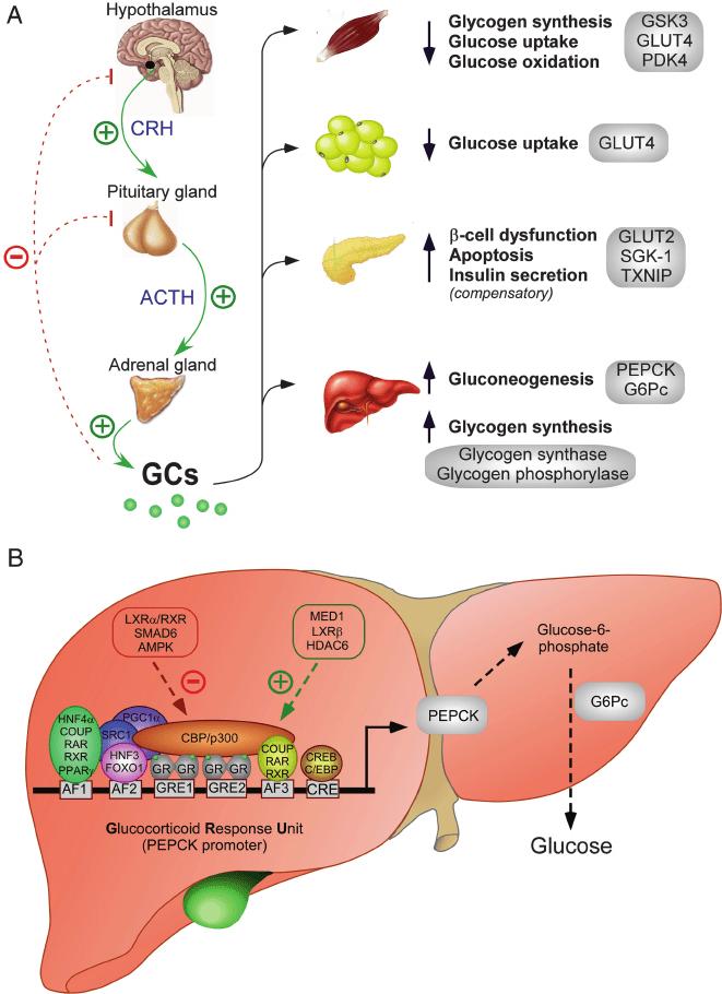 liver cartoon