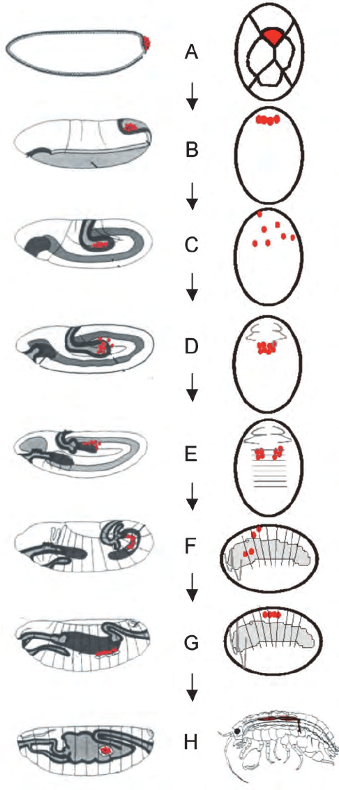 7 Comparison of pattern of germ cell migration, clustering