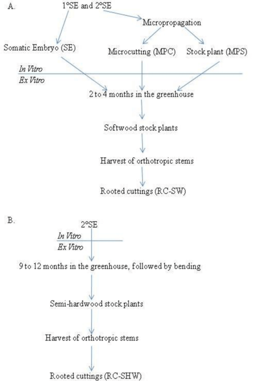 small resolution of 1 flow diagram from in vitro plantlets through ex vitro softwood stem cell softwood stem diagram