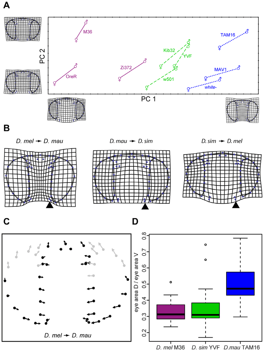 medium resolution of eye and head shape differences between three drosophila species a principal component pc