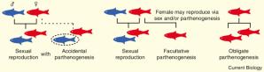 The efficiency of parthenogenesis varies widely