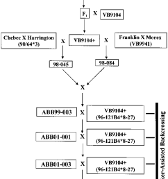 flow chart showing the development of bc 6 f 1 derived doubled haploid download scientific diagram [ 646 x 1259 Pixel ]