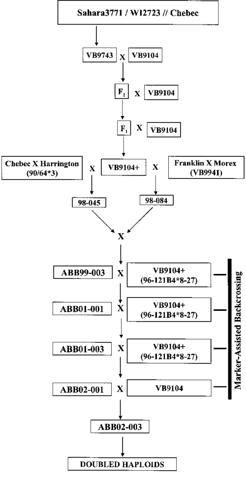 small resolution of flow chart showing the development of bc 6 f 1 derived doubled haploid download scientific diagram